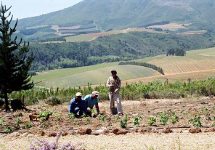 Planting young raspberry bushes with a view onto the Stellenbosch Winelands