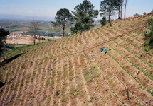 Planting young raspberry bushes on a steep slope